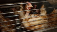 Lidl, Tesco and Rohlik to End Selling of Eggs From Caged Farms