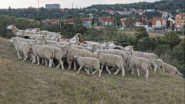 Sheep and Goats Grazing in Prague