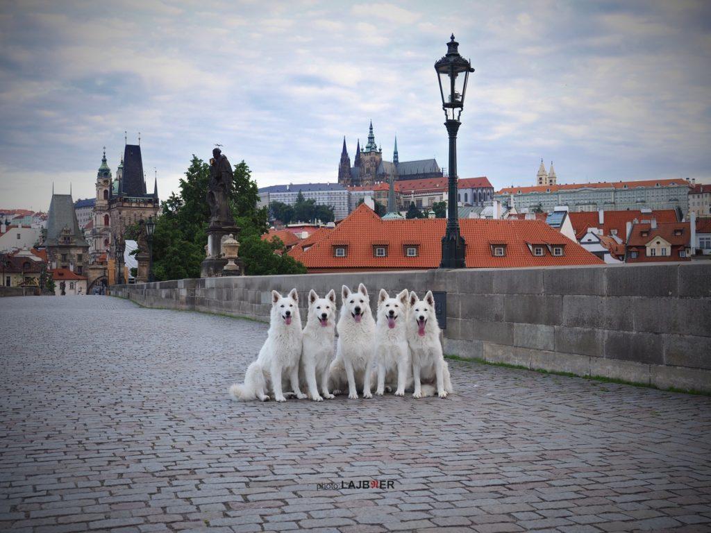 white Swiss shepherds prague